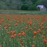 Poppies and White House by Nancy Sottosanti (Location: Page County) Honorable Mention