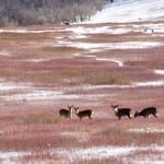 Big Meadows Deer by Edward J. Fuhr (Location: Big Meadows) Honorable Mention