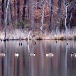 Youth- Geese on a Pond by MacKenzie Snellings (Location: Ashland) Honorable Mention