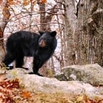 Bear Went Over the Mountain by Francie Davis (Location: Along Skyline Drive) Vistas with Wildlife Winner