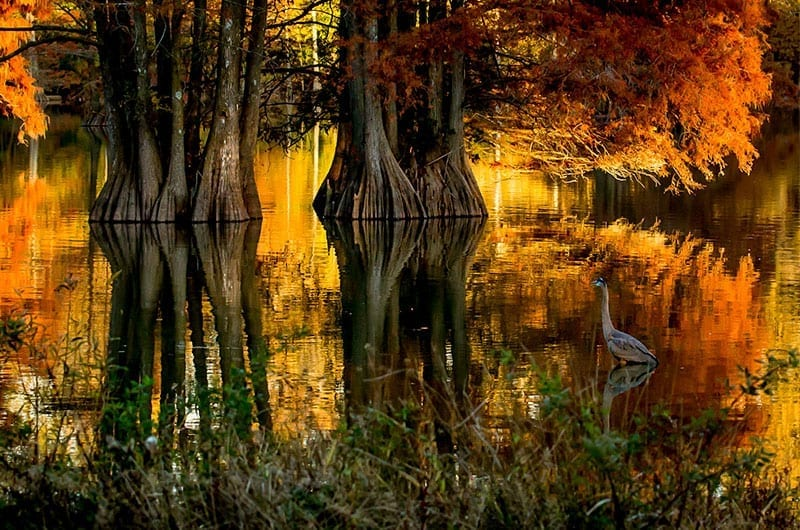 Autumn at Stumpy Lake by Tracey Mershon (Location: Virginia Beach) Rivers & Waterways Winner