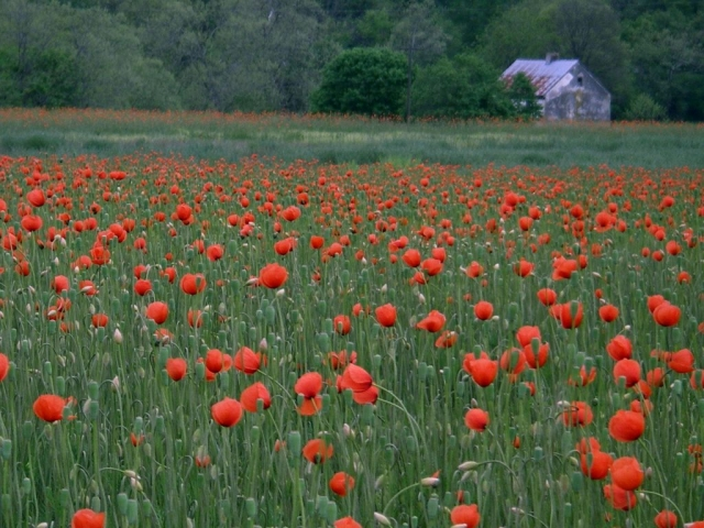 Poppies and White House by Nancy Sottosanti