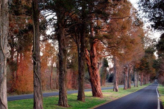 Osborne Turnpike Cedars by Ken Hopson (Eastern Henrico County)