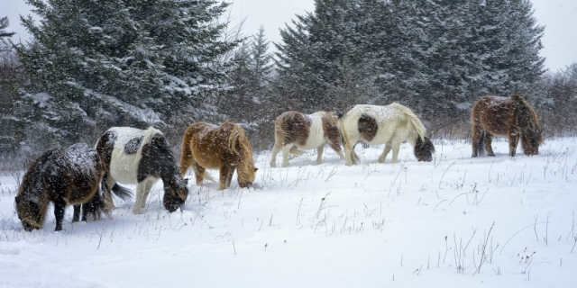 Six Snow Ponies by Martin Seeling (Grayson County)
