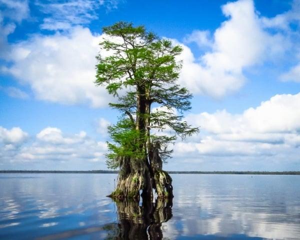 Bald Cypress by Bill Niven (Chesapeake)