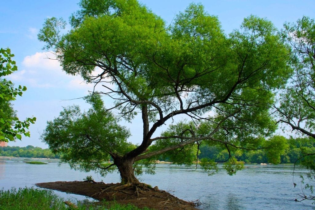 Majestic Tree Along the Bank of the James River by Katie Sitterson (Richmond)