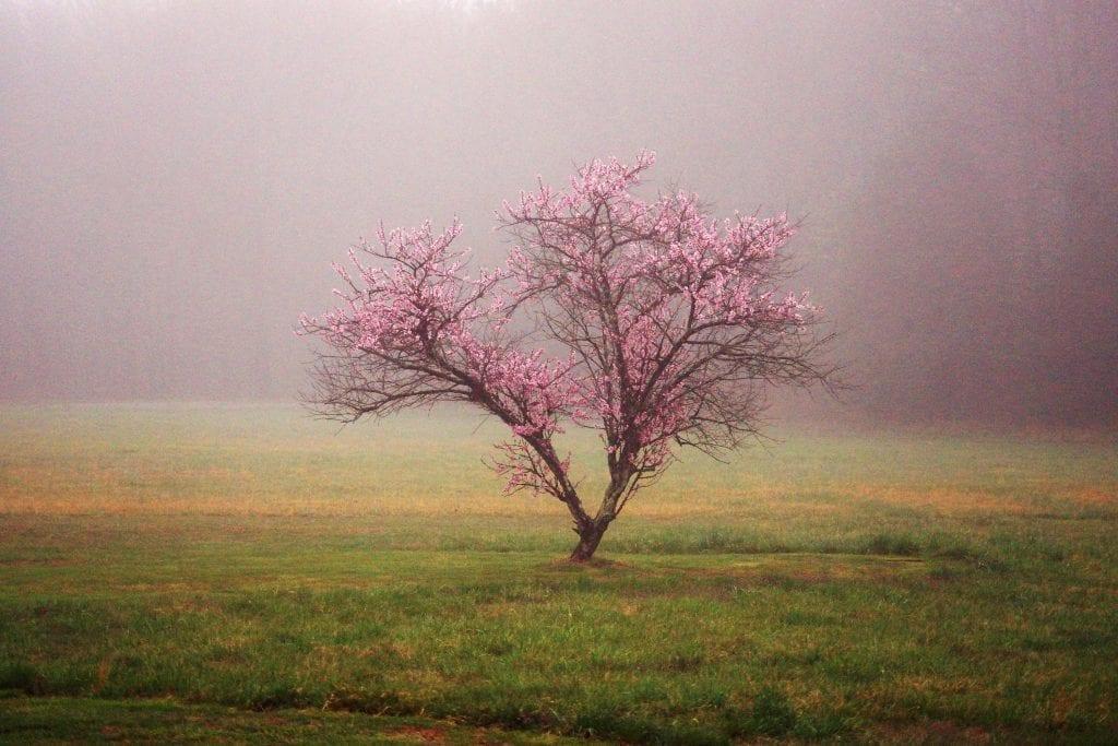 Peach Tree in Fog by Jennifer Luck (Ruther Glen)