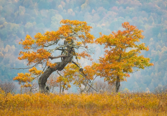 Trees on Whitetop Mountain by Liz Clayton (Wilson Creek)