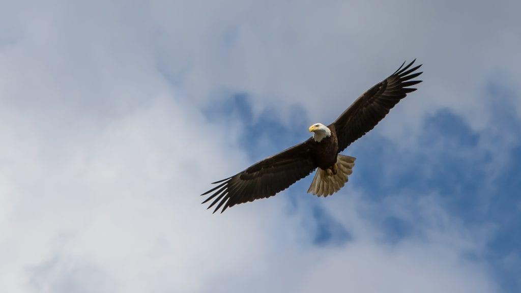 ABE (American Bald Eagle) bu Mark Pugh (Stafford)