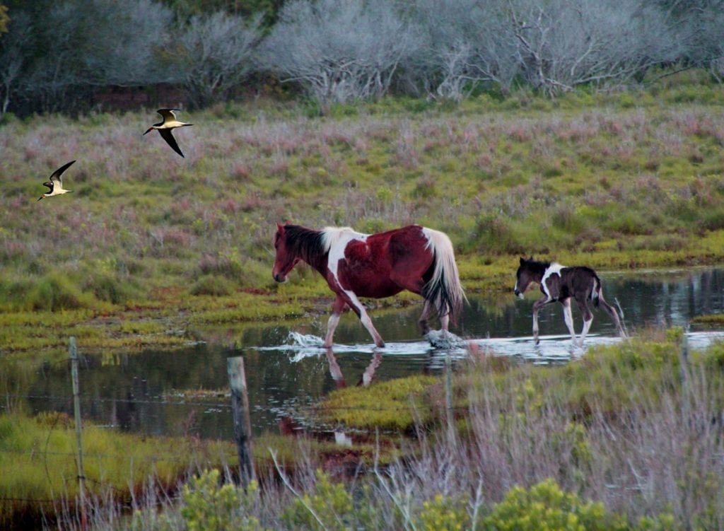 Assateague Ponies by Edward Hagaman (Assateague Island)