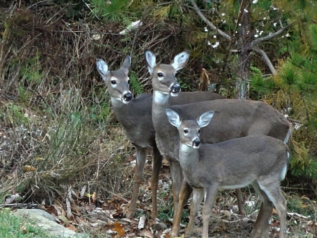 Chesterfield Deer Family by Walter Kimpfler (Chesterfield County)