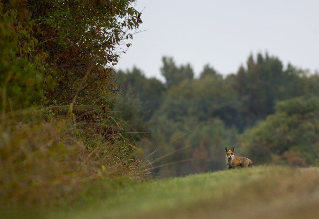Fox Misty Morning by Risha Isom (Woodbridge)