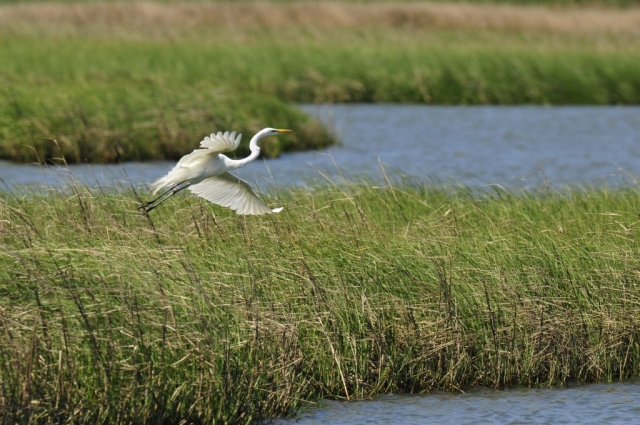 Lynnhaven River Egret by Michael Brown (Lynnhaven River in Virginia Beach)