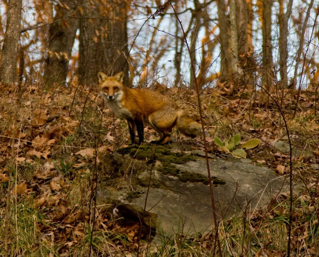 Red Fox by Charles Powell (Loudoun County)