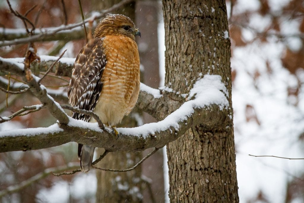 Red Shoulder in Snow by Denise Martin (Glen Allen)