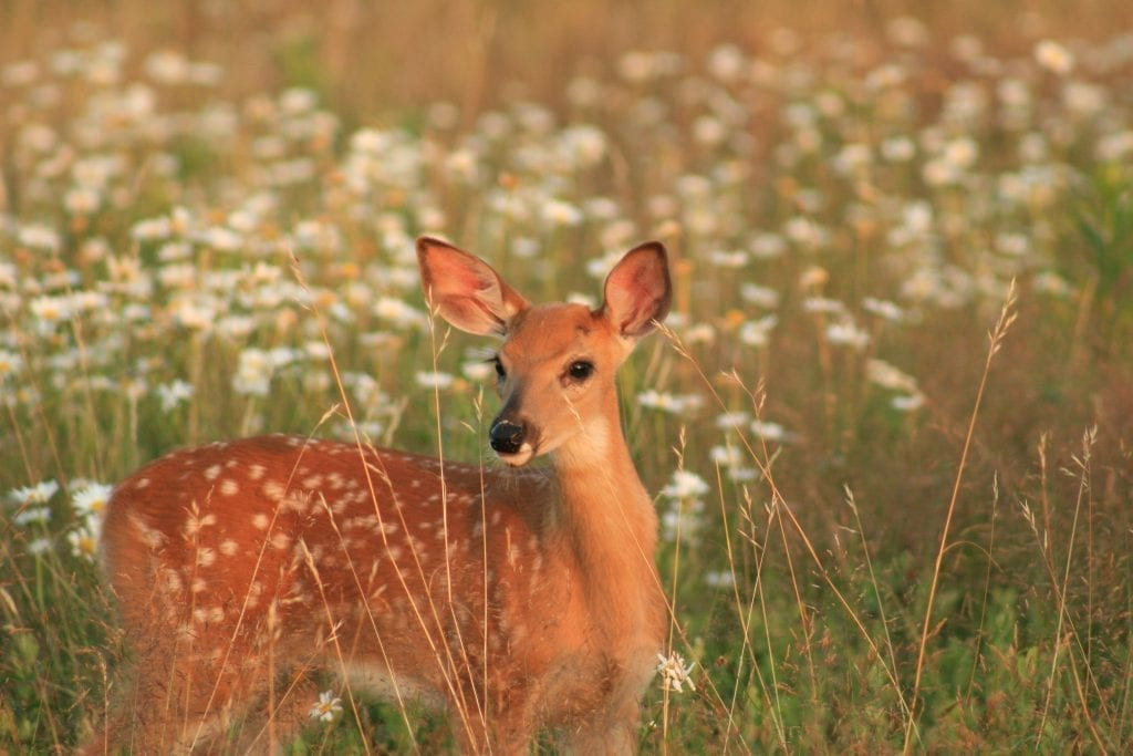 Fawn in Meadow by Terry Crider (Shenandoah National Park)