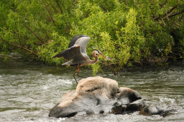 Graceful Heron by Shirley Fox (James River in Richmond)