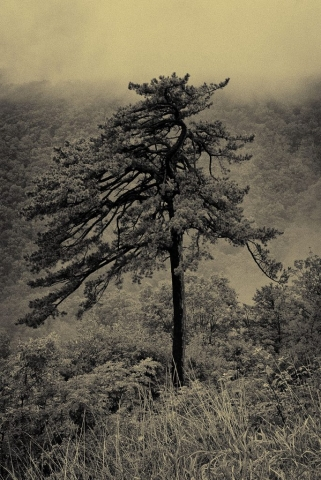 Shenandoah Tree by Deborah Kozura (Bacon Hollow Overlook)