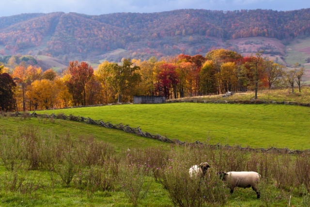Mountains & Valleys Winner: Peek-A-Boo Sheep by Sandi Simmons (Monterey)