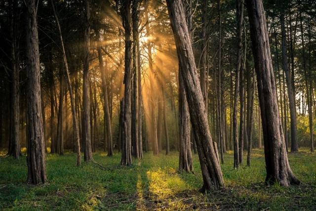 Scenic Trees Winner: Light in the Woods by John Ernst (Centreville)