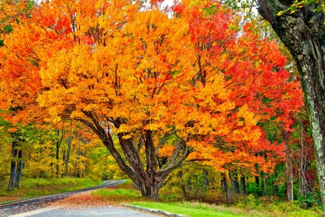 Scenic Trees Winner: The Painted Maple by Zelia Frick (Elkton)