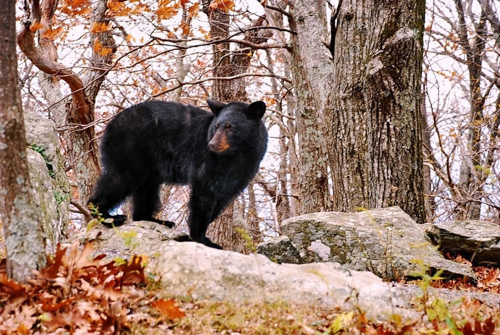 Vistas with Wildlife Winner: Bear Went Over the Mountain by Francie Davis (along Skyline Drive in Shenandoah National Park)