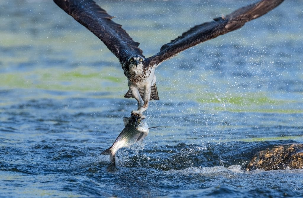 Vistas with Wildlife Winner: Rappahannock River Shad Run by Edward Episcopo