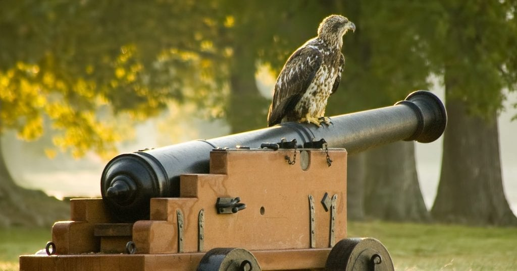 A Young Eagle at the Birthplace of Our Country by Chuck Durfor (Fort James in Jamestown)