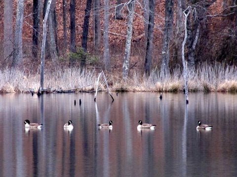Geese on a Pond by MacKenzie Snellings (Hanover County)