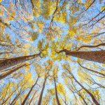 "Scenic Trees Category Honorable Mention: ""Shenandoah's Golden Poplar Grove"" (Shenandoah National Park in Front Royal) by Kalen Martin-Gross of Arlington"
