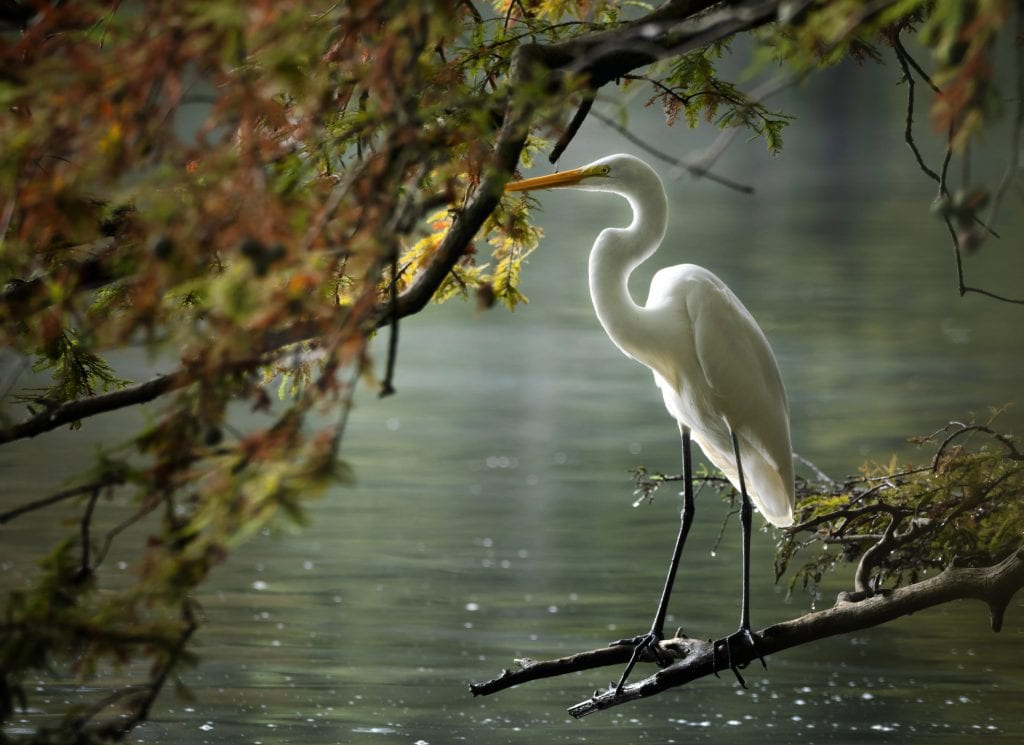 "Vistas With Wildlife Category Winner: ""Backlit Egret in Autumn"" (Stumpy Lake Natural Area in Virginia Beach) by Catherine Johnson of Virginia Beach"