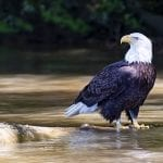 "Vistas With Wildlife Category Honorable Mention: ""Bald Eagle in the James River"" (along the James River in Richmond) by Linda Fern Schmiel of Midlothian"