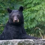 """Vistas With Wildlife Category Honorable Mention: """"Watchful Mother Bear"""" (Shenandoah National Park in Rappahannock County) by Matthew Huntley of Fredericksburg"""