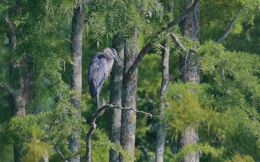 Great Blue Heron in Cypress Trees