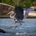 Leaping onto the Heron Highway